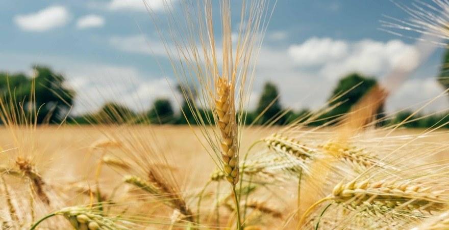 Жатва-2020: итоги уборочной кампании ранних зерновых