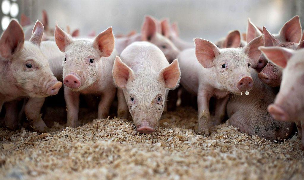 Перезагрузка во время кризиса: в RH решили обновить поголовье свиней