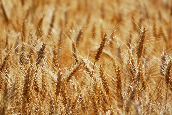 В АФ ім. Горького стартує продаж насіння озимої пшениці